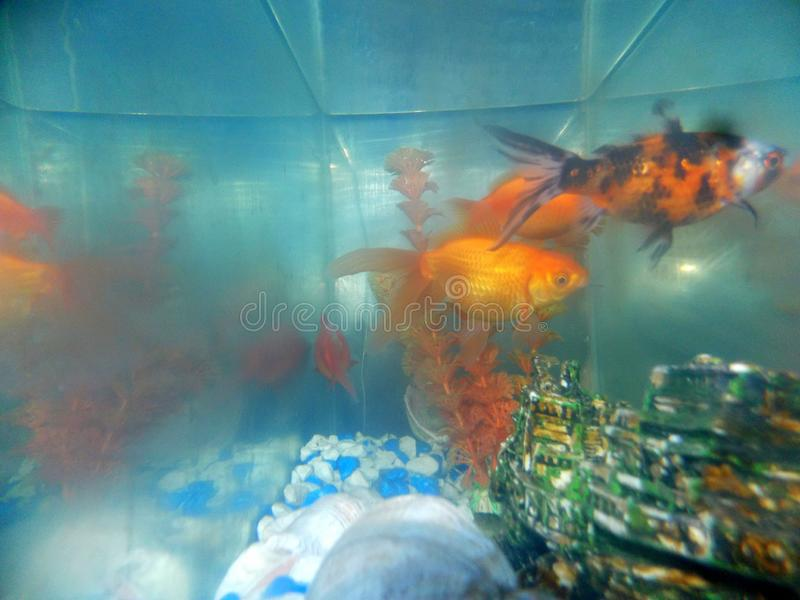 Pomarańcze ryba fotografia stock