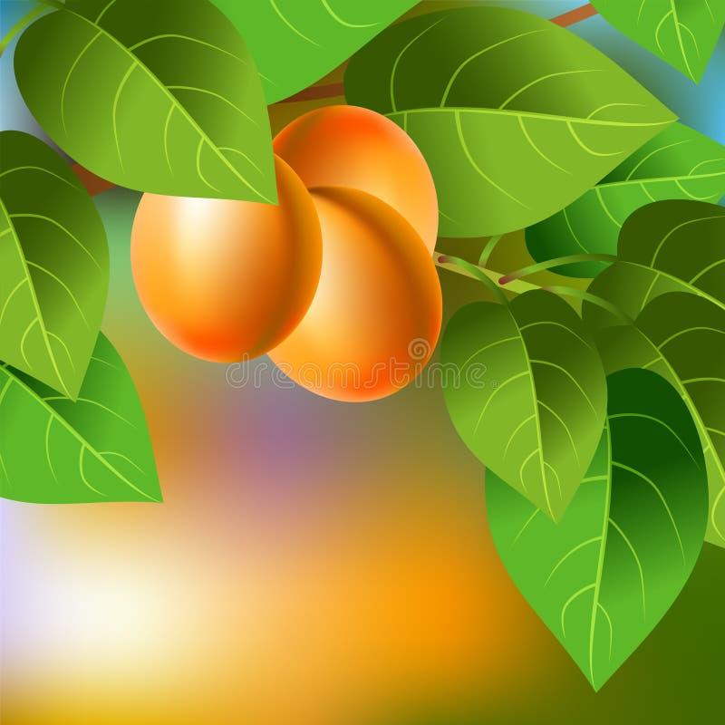 Pomarańcze, soczyste, słodkie morele na gałąź dla twój projekta, ilustracji