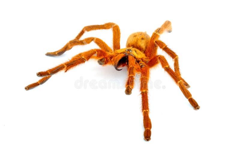 pomarańcze tarantulę pawianie fotografia royalty free