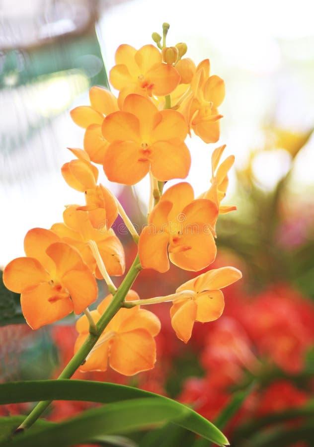 Pomarańcze Vanda orchidei kwiaty obrazy stock