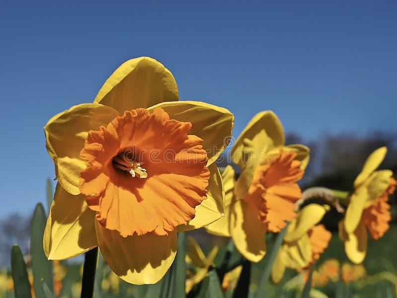 Pomarańcze wypełniający kwitnący daffodils obrazy royalty free