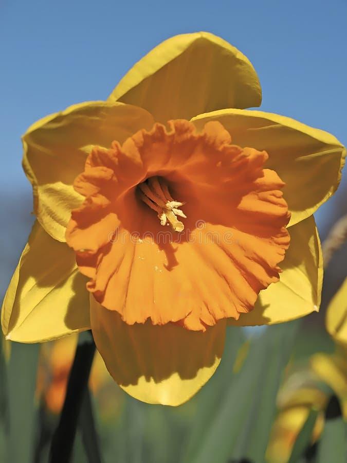 Pomarańcze wypełniający kwitnący daffodils zdjęcia stock