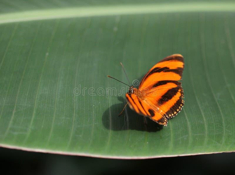 Pomarańcze z czernią paskuje motyliego obsiadanie na zielonym liściu zdjęcie royalty free