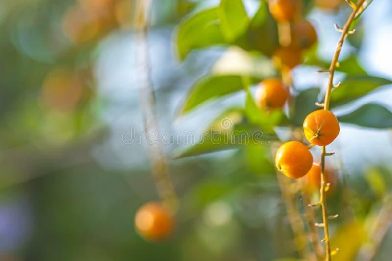 Pomarańcze ziarno zdjęcia royalty free