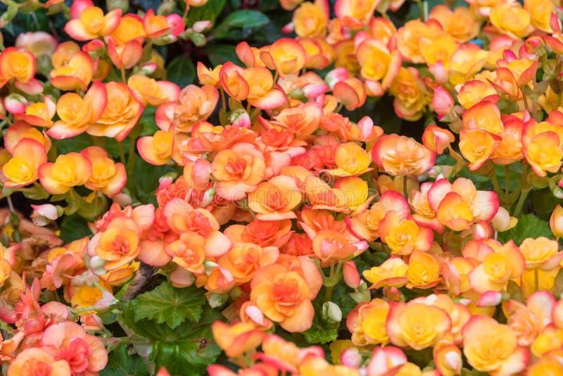 Pomarańczowa begonia kwitnie kwitnienie w ogródzie fotografia stock