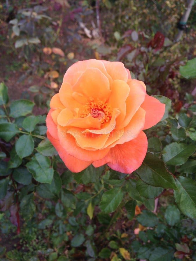 Pomarańczowa brzoskwini róży koloru róża obraz royalty free