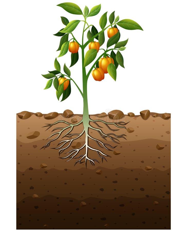 Pomarańczowa capsicum roślina z korzeniową podziemną ilustracją ilustracji