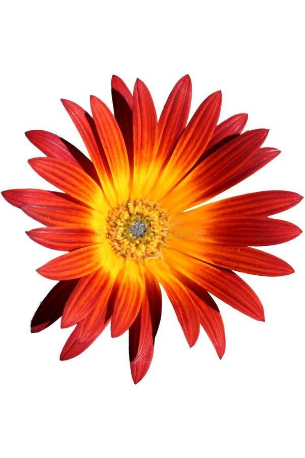 pomarańczowa czerwony kwiat zdjęcia royalty free