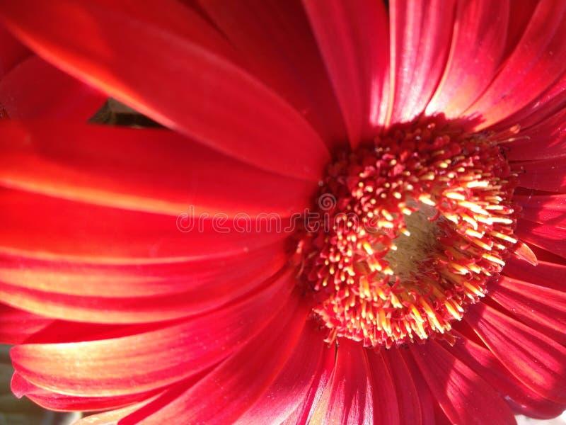 Pomarańczowa Gerber stokrotka - szczegółowy zakończenie fotografia stock