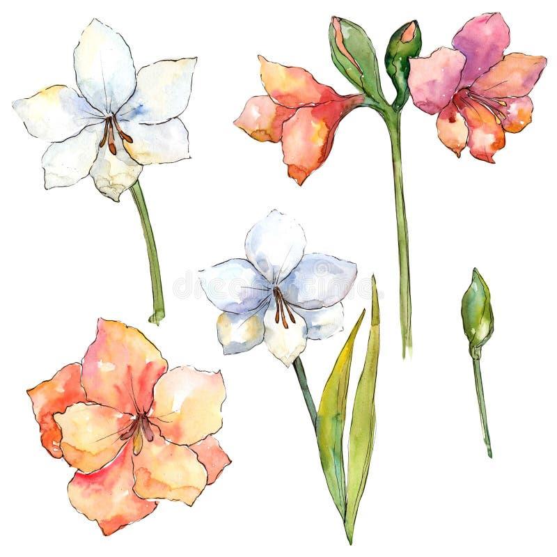 Pomarańczowa i Biała Amaryllis Kwiecisty botaniczny kwiat Odosobniony ilustracyjny element royalty ilustracja