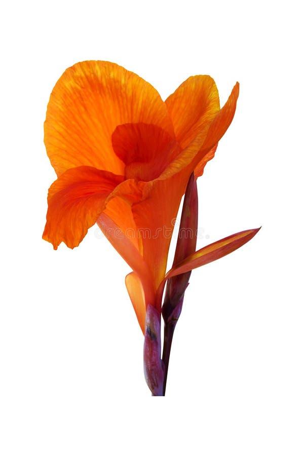Pomarańczowa kanny leluja kwitnie na białym tle Ścinek ścieżka zdjęcia stock
