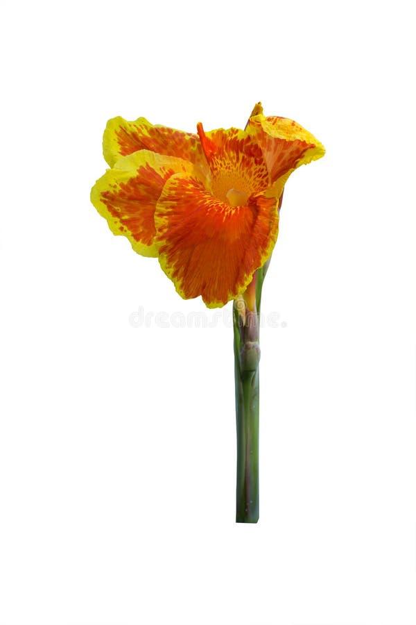 Pomarańczowa kanny leluja kwitnie na białym tle Ścinek ścieżka obraz royalty free