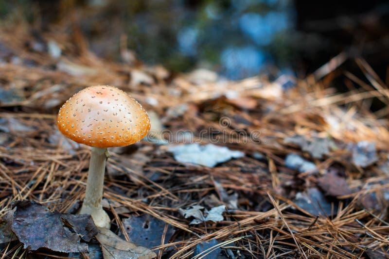 Pomarańczowa las pieczarka w liściach las fotografia royalty free