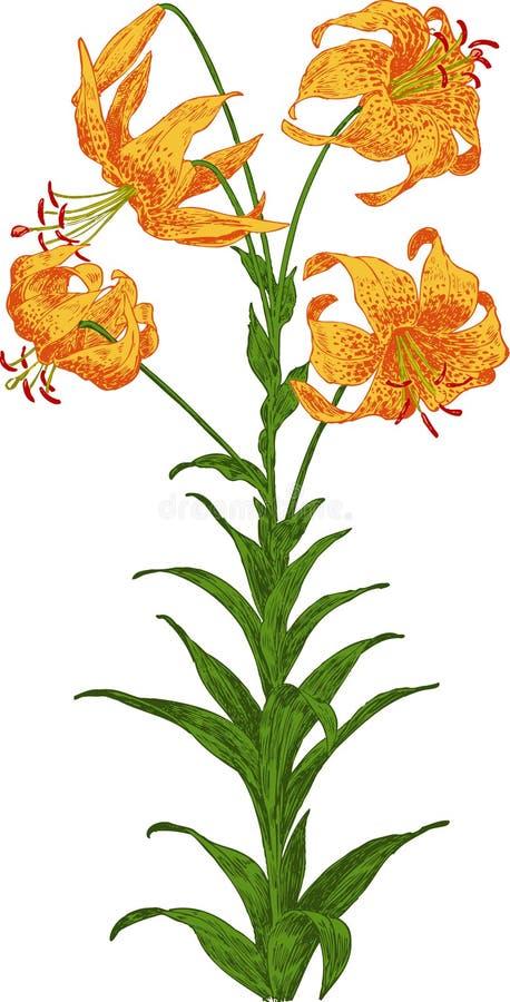 Pomarańczowa leluja. Wektor royalty ilustracja