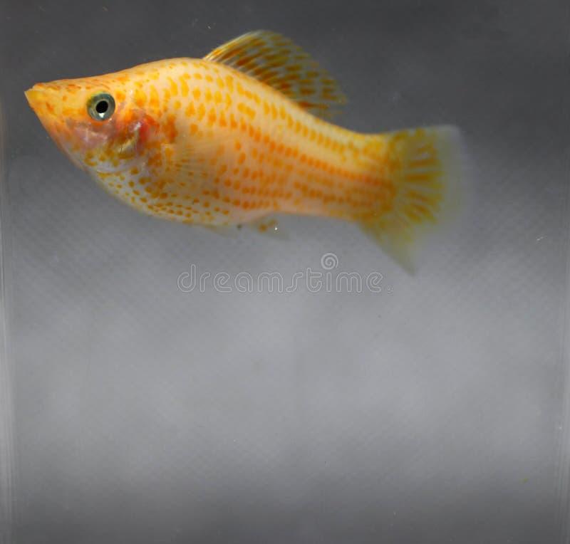 Pomarańczowa sailfin mięczaka ryba w wodnego szkła pudełku kobieta jest duża Jajnik jest wymawiający obrazy stock