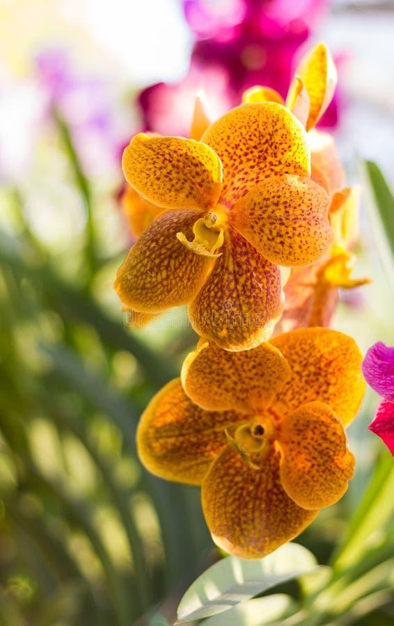 Pomarańczowa Vanda orchidea zdjęcie royalty free