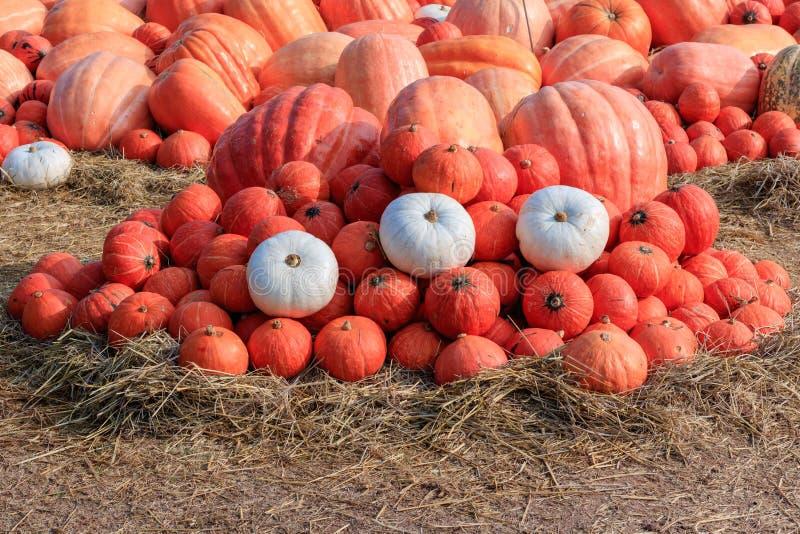 Pomarańczowe Japońskie banie w polu słoma dla sprzedaży przy cou zdjęcia royalty free