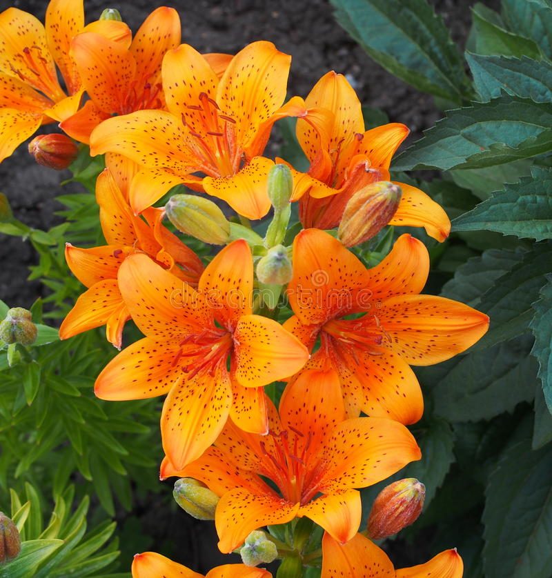 pomarańczowe lilie zdjęcia stock