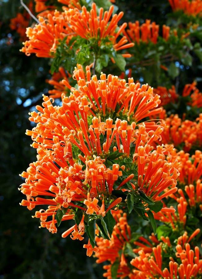 Pomarańczowe trąbki obraz stock
