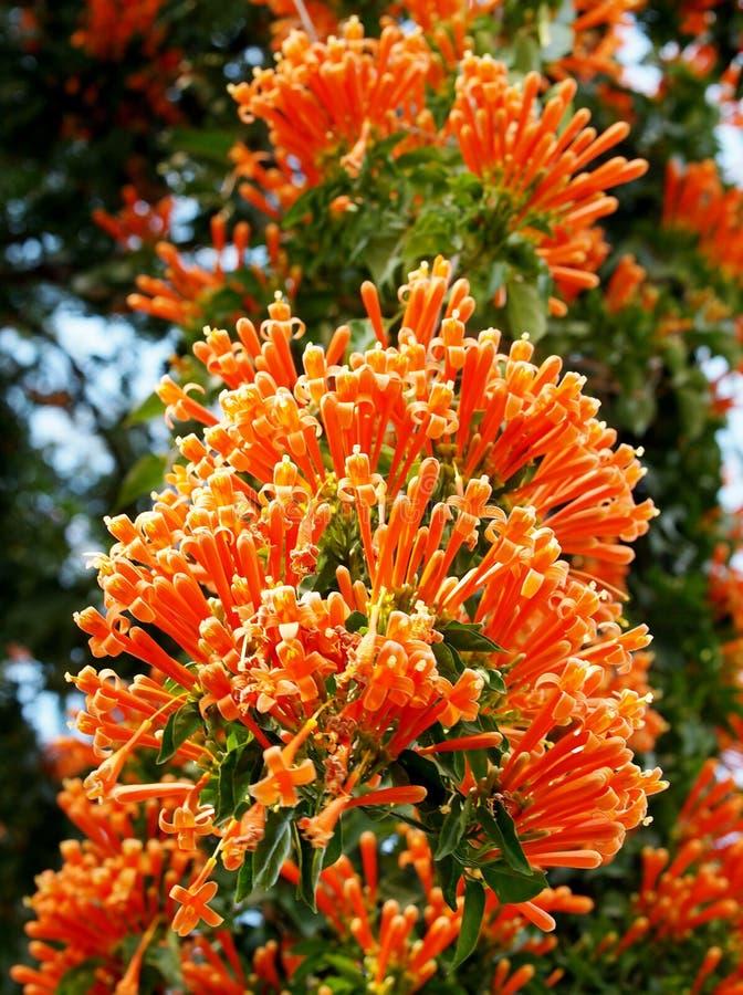 Pomarańczowe trąbki zdjęcia stock