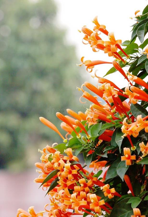 Pomarańczowe trąbki fotografia royalty free