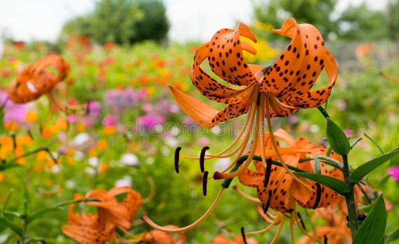 Pomarańczowe tygrysie leluje w ogródzie na ładnym pogodowym dniu obrazy royalty free
