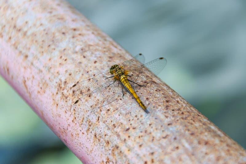 Pomarańczowego koloru żółtego dragonfly insekta obsiadanie na ośniedziałej metal drymbie obrazy stock