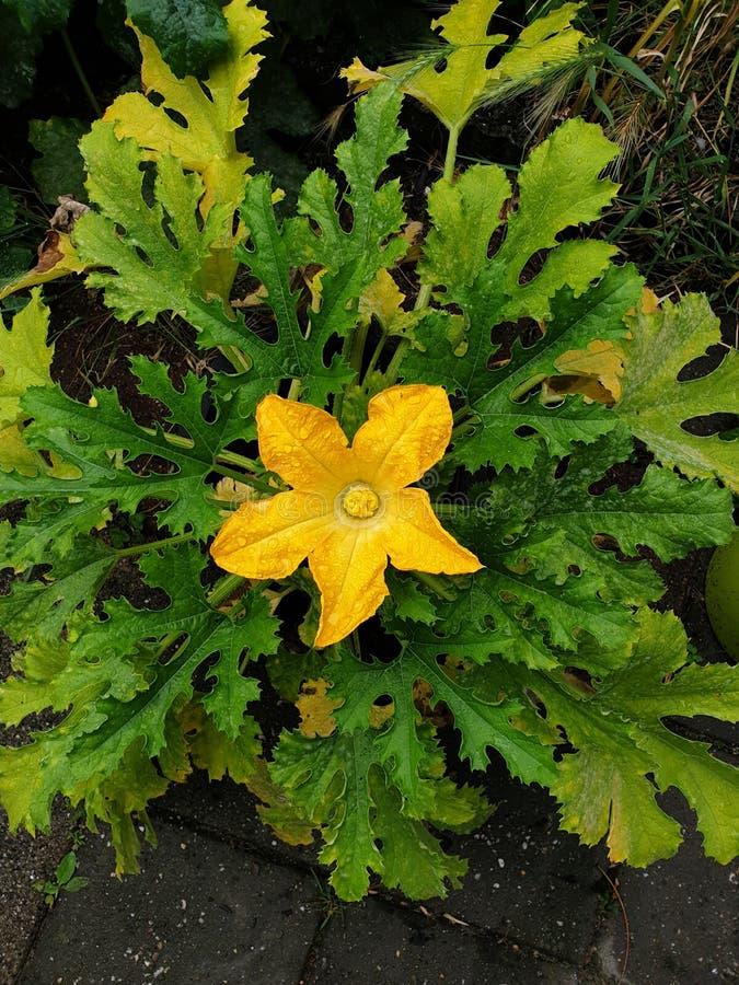 Pomarańczowego koloru żółtego okwitnięcie na courgette roślinie w jedzenie ogródzie w holandiach z raindrops obrazy royalty free