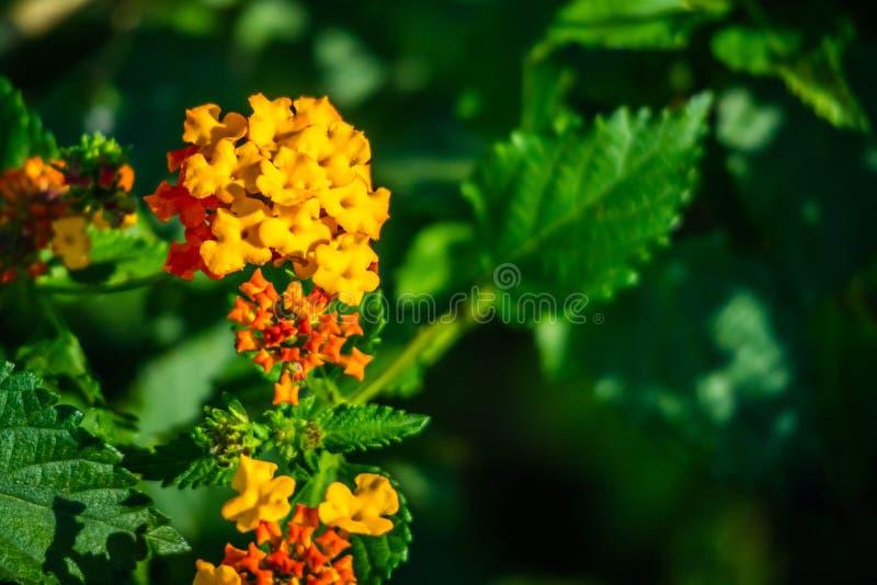 Pomarańczowego Lantana Camara kwiatonośne rośliny w Harlingen, Teksas obraz stock