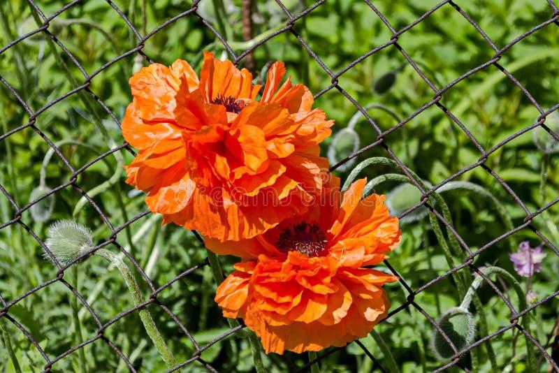 Pomarańczowego Orientalnego maczka lub Papaver orientale kwiat, odwiecznie kwiatonośna roślina, Plana góra zdjęcia stock