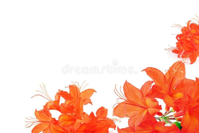 Pomarańczowej czerwieni azalia w ramie z kopii przestrzenią zdjęcie royalty free