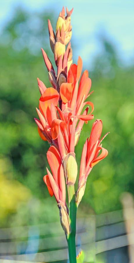Pomarańczowej czerwieni gladiolusa kwiat, zamyka up zdjęcie stock