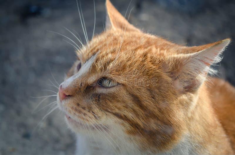 Pomarańczowej czerwieni tabby kot, zamyka up zdjęcie royalty free