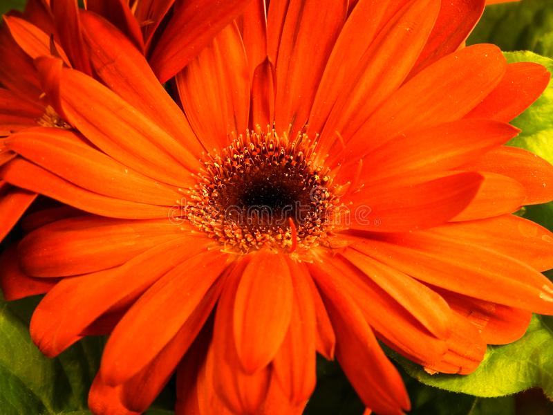 Pomarańczowej stokrotki kwiatu zbliżenie obraz royalty free