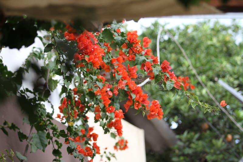 Pomarańczowi bougainvillea kwiaty, Ekwador obrazy royalty free