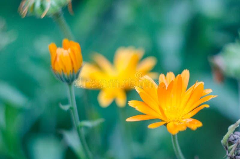 Pomarańczowi calendula officinalis kwitną medycznego kwitnienie w ogródzie fotografia stock