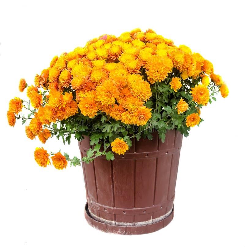 Pomarańczowi chryzantema kwiaty w brown kwiatu garnka zakończeniu up fotografia stock