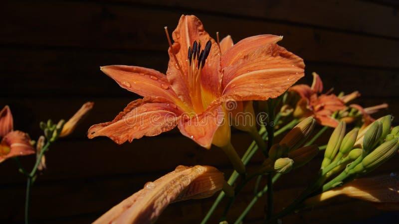 Pomarańczowi daylilies na ciemnym tle zdjęcia royalty free