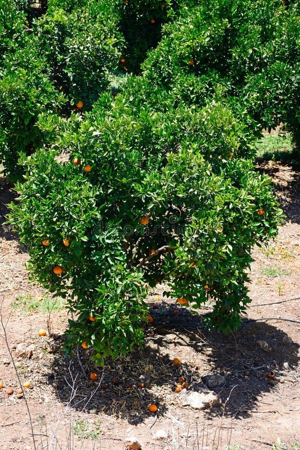 Pomarańczowi drzewa, Silves, Portugalia obrazy royalty free