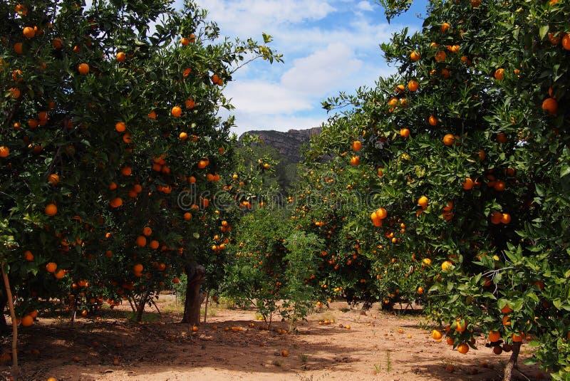 Pomarańczowi drzewa uprawiają ogródek z wiele owoc, Hiszpania zdjęcie royalty free