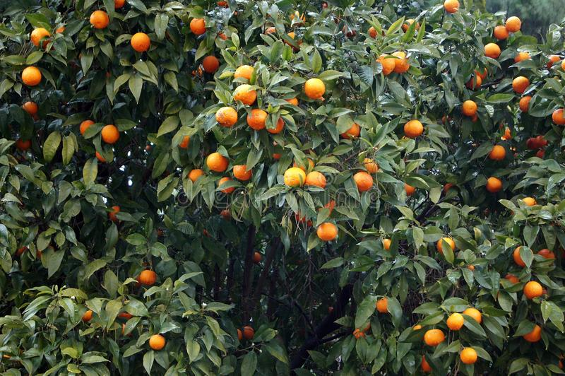 Pomarańczowi drzewa w Włochy obrazy royalty free