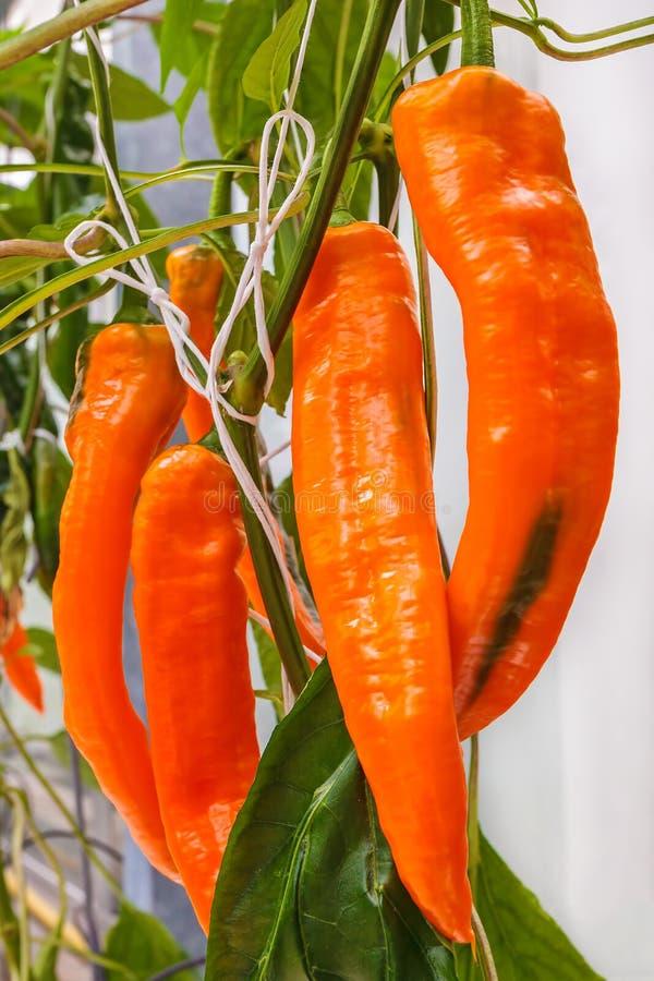 Pomarańczowi dzwonkowi pieprze w szklarni obraz royalty free