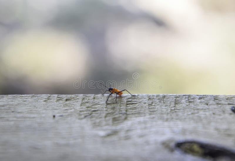 Pomarańczowi insekty na szarym drewnie, Zamazany bokeh natury tło fotografia royalty free
