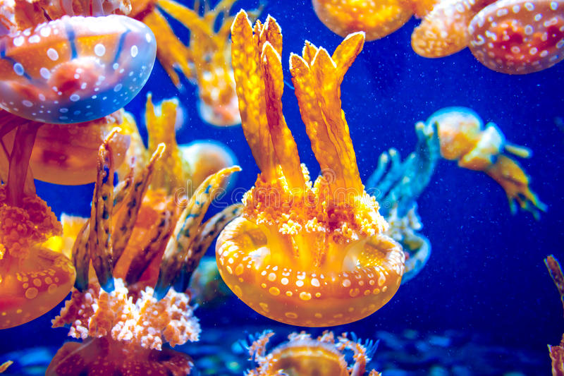 Pomarańczowi Jellyfish zdjęcia royalty free