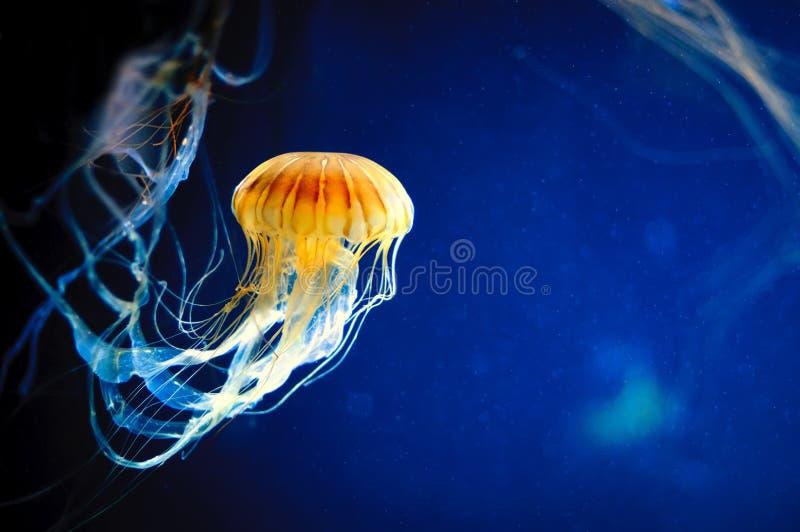 Pomarańczowi jellyfish, Chrysaora fuscescens lub Pacyficzna denna pokrzywa na błękicie obraz stock