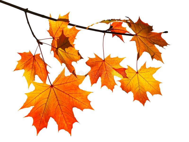 Pomarańczowi jesień liście klonowi odizolowywający na bielu zdjęcia stock