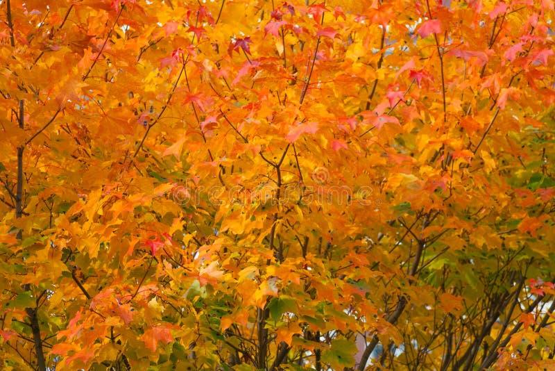 Pomarańczowi jesień liście na drzewach jako tło, tekstura zdjęcia stock