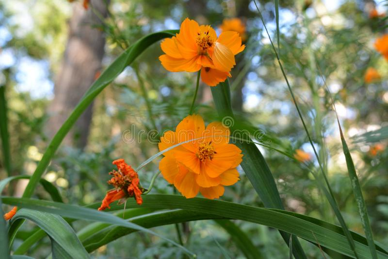 Pomarańczowi kosmosy kwitną na artystycznym zamazanym tle drzewa Zielenieć miasto jard zdjęcia royalty free
