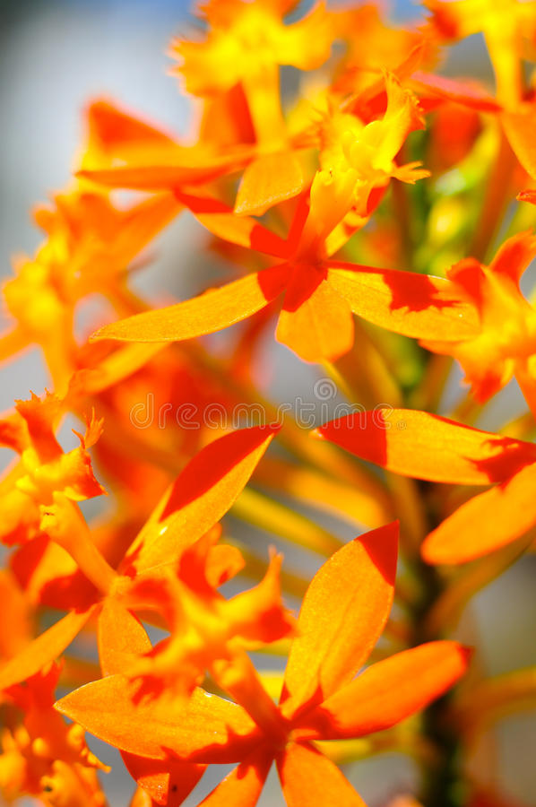 Pomarańczowi kwiaty obraz stock