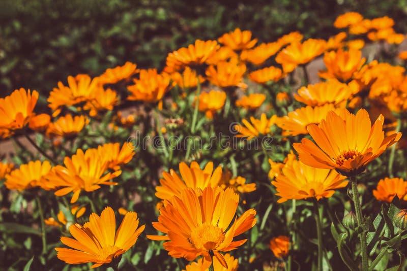 Pomarańczowi kwiaty calendula w ogródzie obraz stock